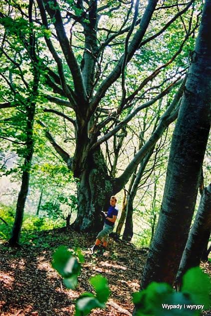 Pod Cicilovete - szukamy szlaku w lesie bukowym